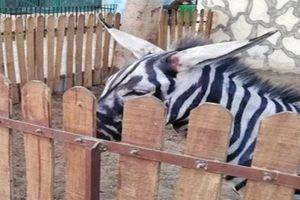 Ngựa vằn độc dị và sự thật khiến nhiều người ngã ngửa