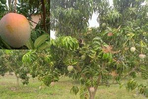 Kỹ thuật trồng cây xoài Úc quả to tròn, thơm ngon