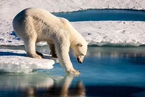 Gấu Bắc cực chết thảm vì tấn công người đến thăm