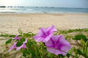 Xao xuyến hoa muống biển