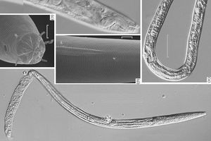 Đột phá khoa học: Hồi sinh giun 40.000 năm tuổi