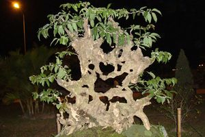 Mê tít những cây bằng lăng bonsai siêu đẹp