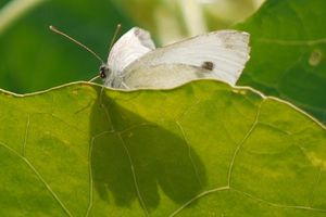Big Butterfly Count 2018 – Những hình ảnh đẹp nhất về các loài bướm