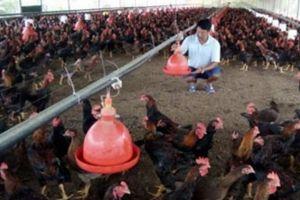 Cả làng bắt tay nhau nuôi nửa triệu con gà, thu chục tỷ/năm