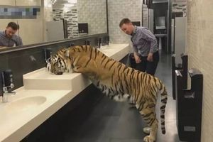 Thấy hổ trong nhà vệ sinh, người đàn ông 'cười xòa' rồi kinh hoàng...