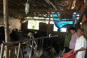 Tam Đảo: Phát triển đàn bò thịt, bò sữa chất lượng cao