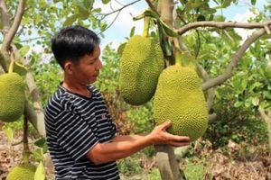 Thu hàng tỷ đồng nhờ trồng mít Thái da xanh xen cây chanh