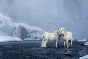 Vẻ đẹp huyền thoại những con ngựa hoang dã hậu duệ ngựa thần