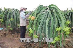 Giải pháp tiết kiệm điện cho thanh long ra hoa trái vụ