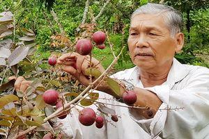 Nhà vườn bác thông tin người Thái săn lùng giống nhãn tím