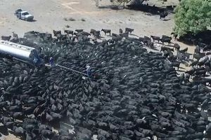 Hạn hán kỷ lục ở Australia, hơn nghìn chú bò vây kín xe bồn chở nước