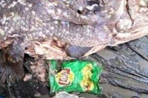 Kinh hãi túi nylon nguyên trạng trong bụng loài cá 'hóa thạch sống'