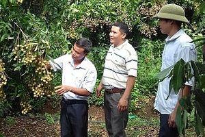 Sơn La xuất khẩu 40 tấn nhãn sang Trung Quốc theo đường chính ngạch