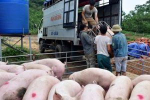 Giá heo hơi hôm nay 11/8: Thương lái 'không dám chê' lợn xấu, đẹp, nhà nông vẫn hồi hộp