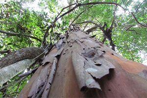 Điều bất ngờ về cây rừng Tây Nguyên có chất diệt ung thư mạnh