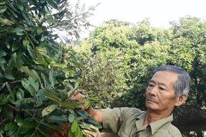 Vườn nhãn trăm triệu của lão nông Mười Sử giữa xứ rừng U Minh