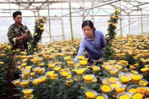 Hoa cúc Đà Lạt giá tăng cao gấp 1,5 lần