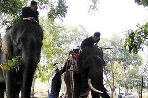 Tháo 'xiềng' du lịch cho voi