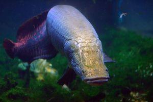 Tây Ninh: Con cá Hải tượng nặng gần 30kg đã chết, gia đình xẻ thịt bán