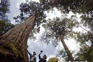 Độc đáo rừng cây pơmu di sản với muôn kiểu hình thù kỳ lạ