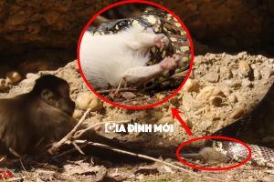 Chú khỉ dũng cảm cứu sống chuột đang nằm gọn trong miệng rắn săn mồi