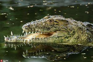 Phát hiện 'choáng' sau chiếc mõm dị của cá sấu khổng lồ