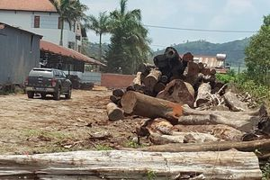 Vụ bắt trùm gỗ lậu Phượng 'râu': Nhiều kiểm lâm bị kỷ luật