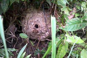 Vì sao ong vò vẽ đáng sợ hơn những loài ong sát thủ khác?