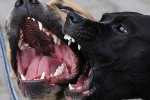 Hà Nội: Hai con chó béc giê cắn chết chủ nhà