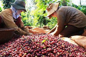 Financial Times: Người trồng cà phê Việt Nam và nỗi lo được mùa mất giá