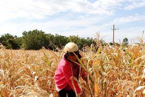 Ninh Thuận: Hàng trăm héc-ta hoa màu 'chết khát', đem cho bò ăn