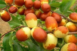 Thăm vườn hồng táo Trung Quốc được người Việt săn lùng