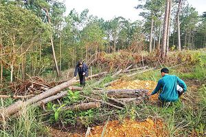 Lâm Đồng: Hàng ngàn cây thông ở rừng phòng hộ bị đầu độc