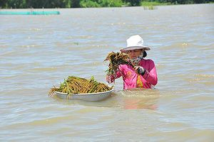 Cận cảnh người dân ngâm mình trong nước gặt lúa