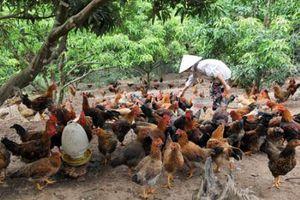 Cấp chứng nhận VietGAHP cho chăn nuôi gà