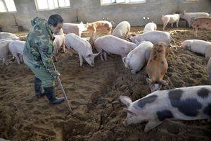 Dịch tả lợn Châu Phi nguy hiểm thế nào?