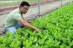 Về quê trồng rau trên nền cát trắng, 8X thu 30 triệu/tháng