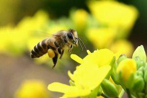 Bạn có biết quy trình khai thác và sản xuất Phấn hoa Tam Đảo chuẩn?