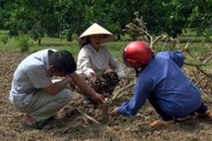 Làm rõ tình trạng vườn cây ăn quả ở Tuyên Quang bị phá hoại