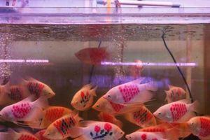 'Đột nhập' vào chợ cá cảnh đủ loại lâu đời nhất Sài thành