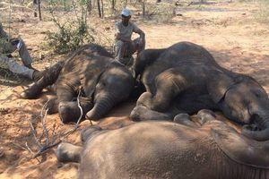 Vừa giải tán đội bảo vệ voi, 87 con bị giết lấy ngà ở Boswana