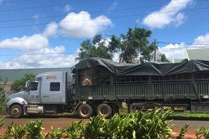 Phát hiện cây đa 'khủng' ngụy trang tinh vi vận chuyển từ Đắk Lắk ra Hà Nội