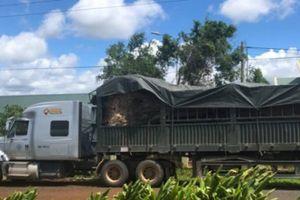 Phát hiện cây đa 'khủng' trên đường vận chuyển ra Hà Nội