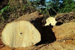 Phá rừng quy mô lớn ở huyện Nam Giang, Quảng Nam
