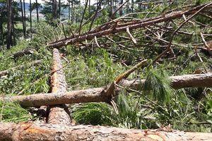 Rừng thông ở Lâm Đồng bị phá tan hoang: Có bàn tay của 'xã hội đen'