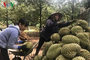 Đắk Lắk: Sầu riêng được mùa, giá cao kỷ lục
