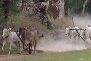 Huấn luyện bò đua ở vùng Bảy Núi
