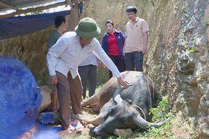 Nghệ An: Trâu bò chết hàng loạt do dịch tụ huyết trùng
