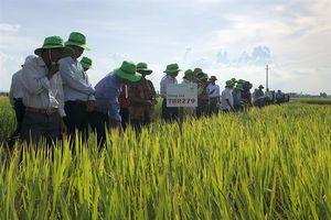 Nông dân Hà Tĩnh 'mê' lúa chất lượng TBR279