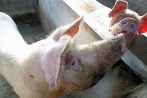 Vì sao chưa có vacxin dịch tả lợn Châu Phi?
